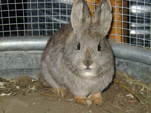 Idaho Pygmy Rabbit