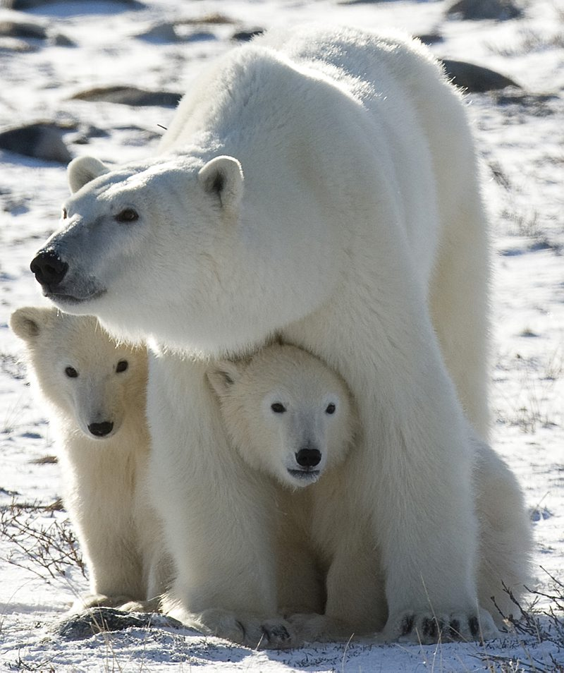 Human Population 26811774 furthermore 160108134324 besides Are Polar Bears Really Endangered additionally 105525454 likewise Chronic Kidney Disease A Rising Threat In These Modern Times. on human life span increasing