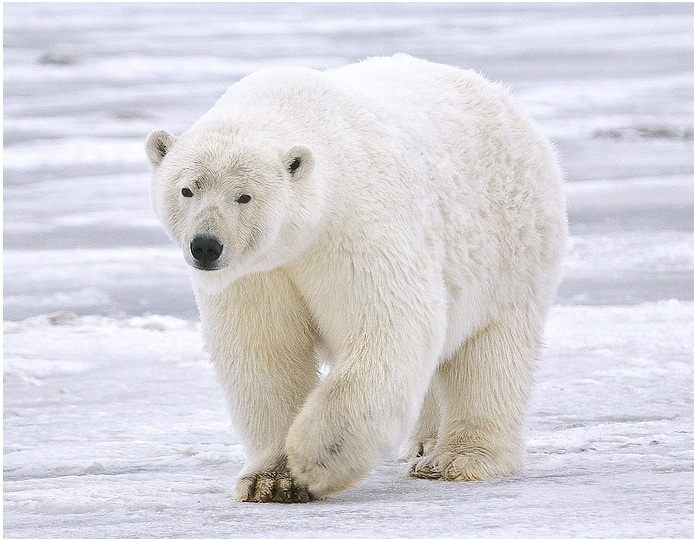 Are Polar Bears Really Endangered