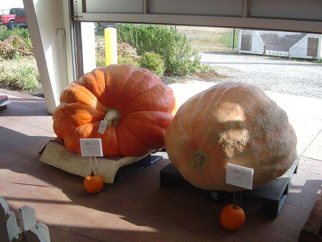 Competitive Pumpkins