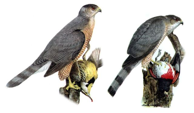 Cooper's hawk (left) and Sharp-shinned hawk (right).