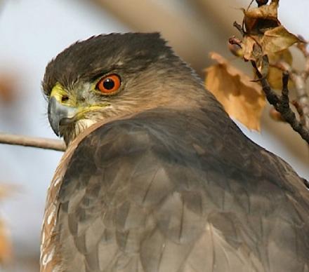 Cooper's Hawk head