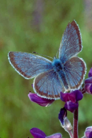 Fender's blue butterfly