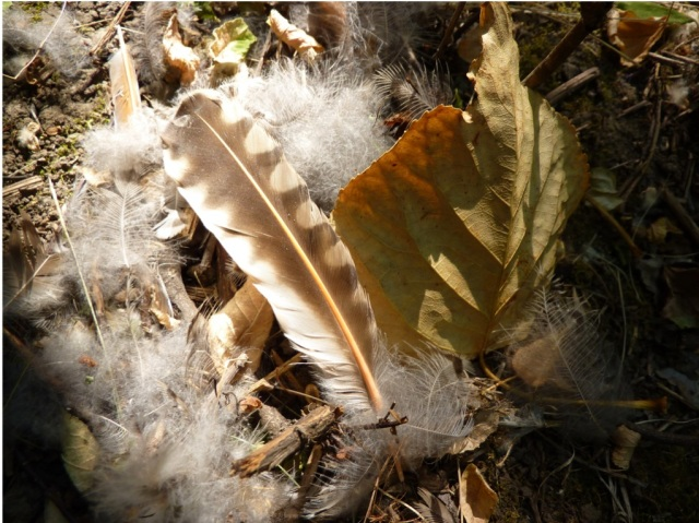 Flicker feathers
