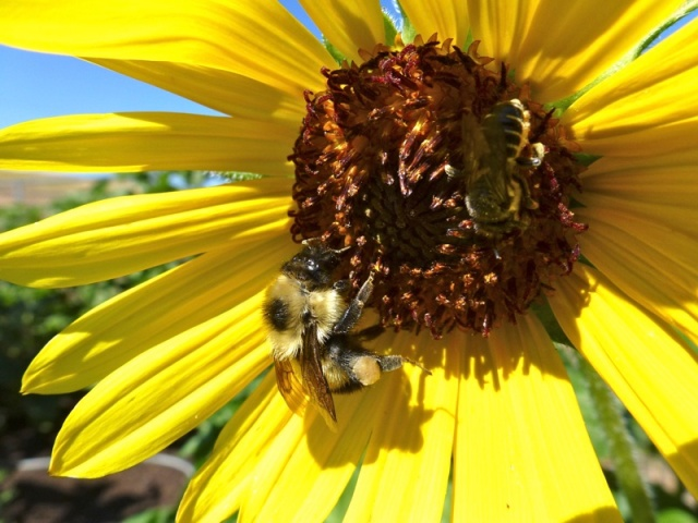 Bees on Sunflower