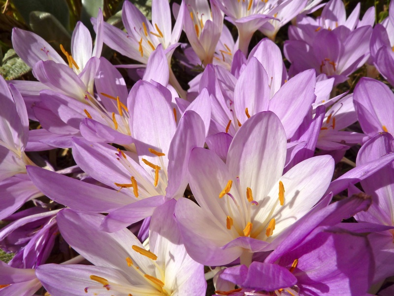 Colchicum flowers