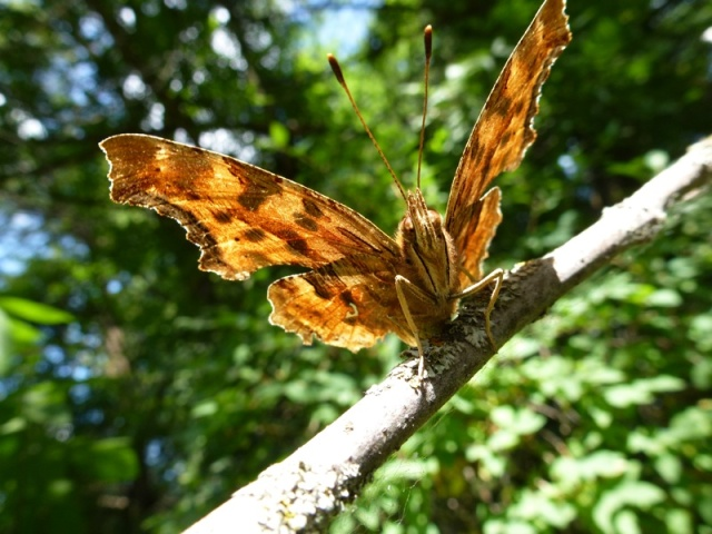 Satyr Anglewing Butterfly