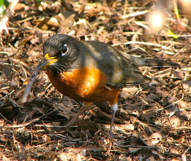 Robin Eating Worm
