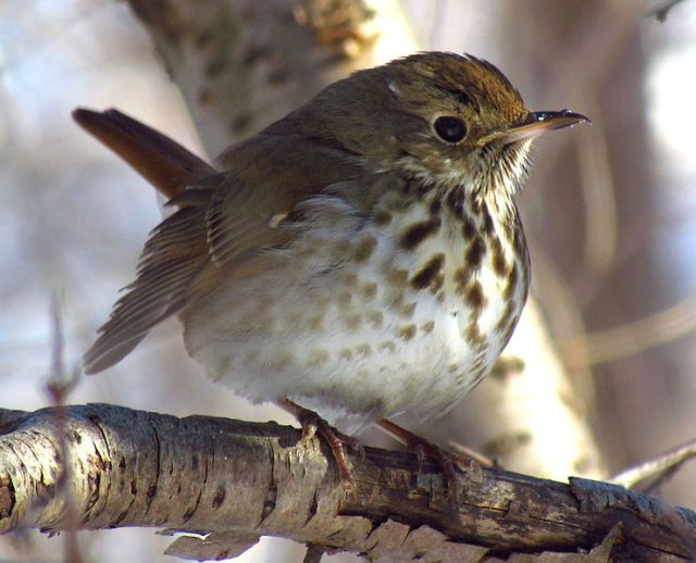Hermit Thrush in Winter
