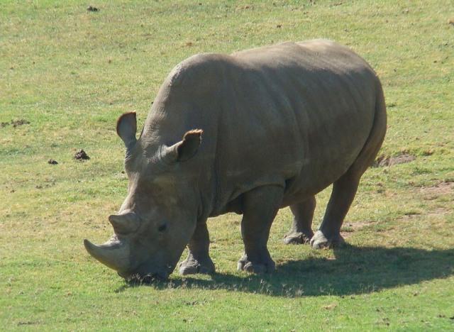 Northern_White_Rhinoceros_Angalifu2
