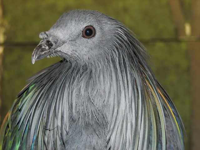 Head_of_Nicobar_Pigeon