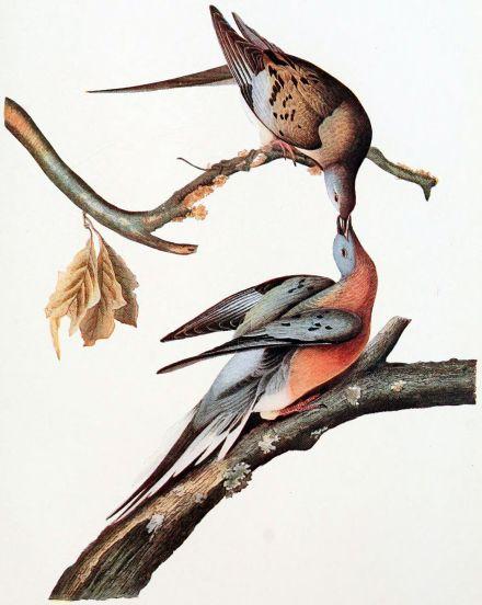 Mershon's_The_Passenger_Pigeon_(Audubon_plate,_crop)