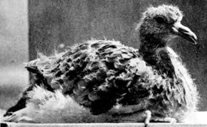 Young_passenger_pigeon